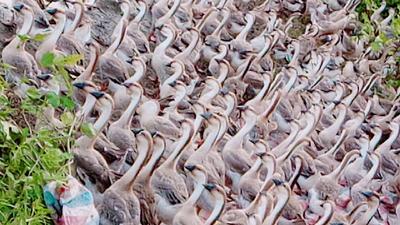 广西壮族自治区玉林市玉州区狮头鹅 统货 全散养 12斤以上