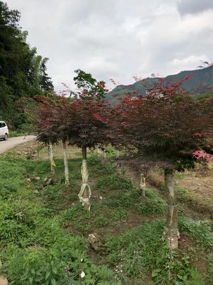 广西壮族自治区桂林市全州县中国红枫/红叶羽毛枫