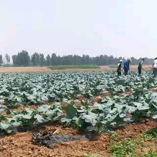 天津武清区耐寒优秀西兰花 0.8~1.2斤 10~15cm