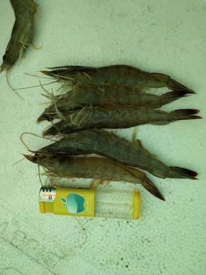 上海宝山区近缘新对虾 人工殖养 2-4钱
