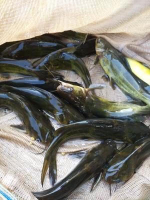 重庆潼南县池塘黄颡鱼 人工殖养 0.05公斤