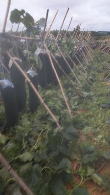 广西壮族自治区崇左市扶绥县黑皮冬瓜 15斤以上 黑皮