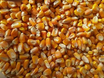 新疆维吾尔自治区伊犁哈萨克自治州伊宁县玉米干粮 霉变≤1% 净货