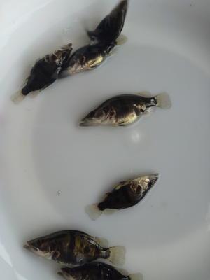 广东省江门市鹤山市桂花鱼 人工养殖 0.8斤以下
