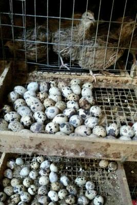云南省昆明市西山区黄羽鹌鹑蛋 食用 散装