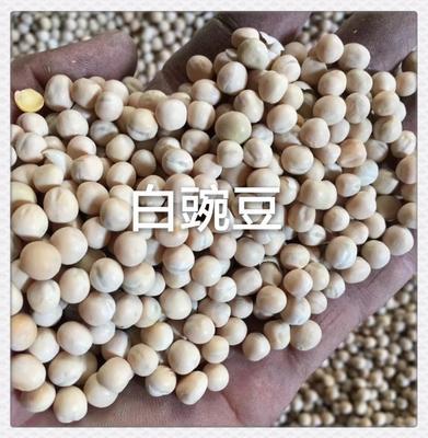 天津滨海新区白豌豆 5-7cm 饱满