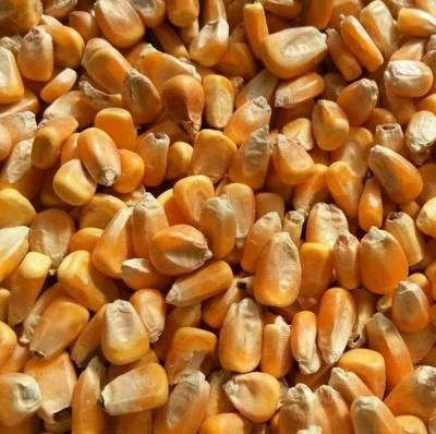黑龙江省齐齐哈尔市克山县玉米干粮 霉变≤2% 净货