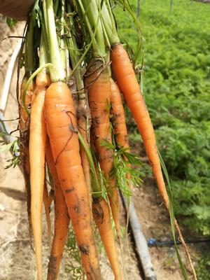河南省开封市开封县三红胡萝卜 15cm以上 2两以上 3~4cm