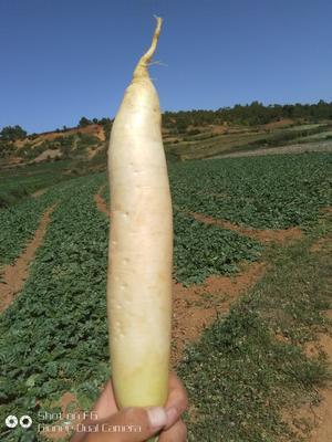 贵州省毕节市威宁彝族回族苗族自治县白萝卜 1.5~2斤