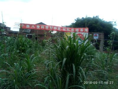 广西壮族自治区梧州市长洲区中华草