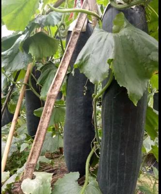 贵州省安顺市西秀区黑皮冬瓜 20斤以上 黑皮