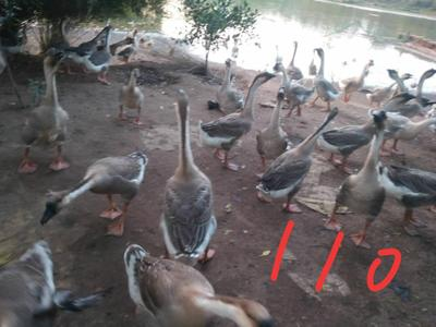 广西壮族自治区贵港市桂平市大白沙 统货 半圈养半散养 10-12斤