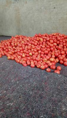 河南省安阳市安阳县东风一号西红柿 不打冷 硬粉 弧三以上