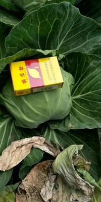 河北省邯郸市永年县绿甘蓝 1.0~1.5斤