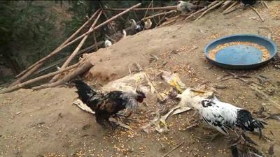 广西壮族自治区南宁市西乡塘区土乌鸡 3-4斤