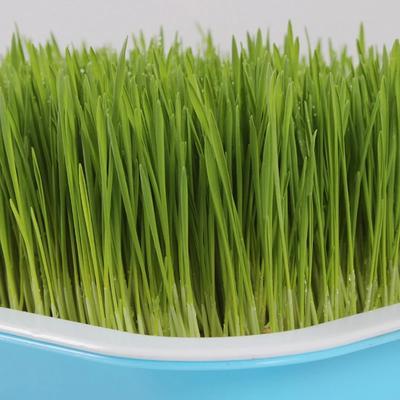 河南省周口市商水县小麦种子