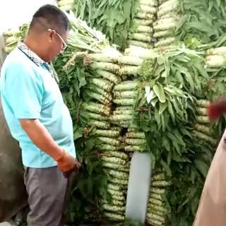 河北省保定市定州市三青王莴笋 50-60cm 2斤以上