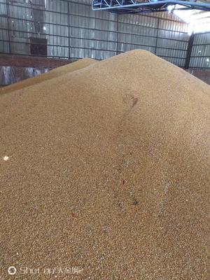 黑龙江省哈尔滨市阿城区玉米干粮 霉变≤1% 杂质很少
