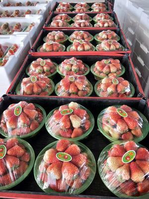 辽宁省大连市庄河市九九草莓 20克以上