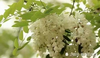 湖北省襄阳市老河口市槐花