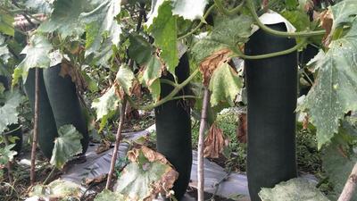 海南省儋州市儋州市黑皮冬瓜 25斤以上 黑皮