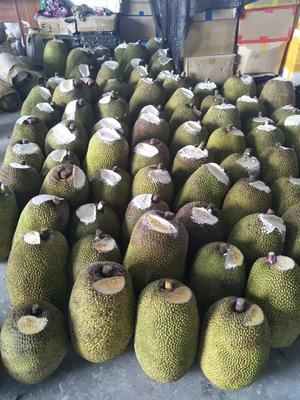 广西壮族自治区崇左市宁明县越南菠萝蜜 15斤以上