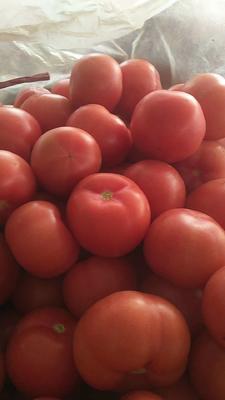 河北省邯郸市永年县硬粉番茄 不打冷 软粉 通货