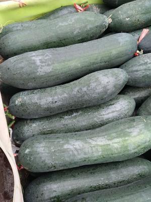 广西壮族自治区玉林市博白县黑皮冬瓜 15斤以上 黑皮