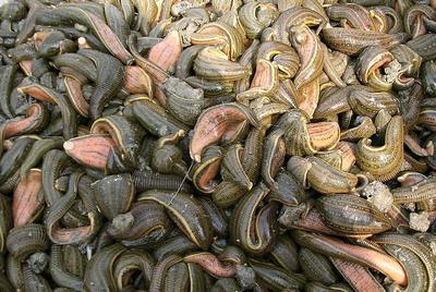 湖北省荆州市松滋市野生金线水蛭
