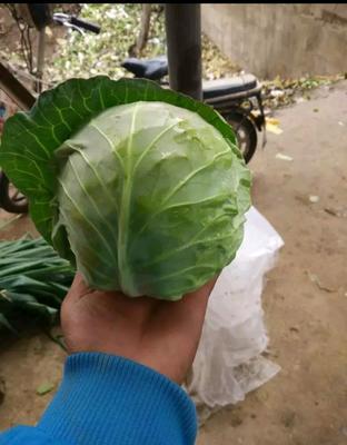 山西省晋中市太谷县圆包菜 2.5~3.0斤