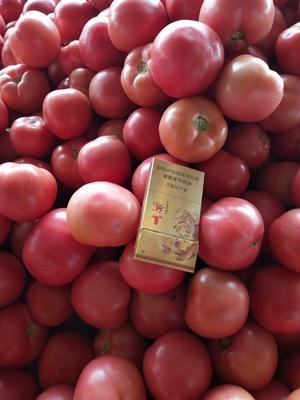 河北省衡水市饶阳县硬粉番茄 不打冷 硬粉 弧三以上