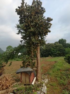 广西壮族自治区桂林市临桂县食用仙人掌 20~30公分
