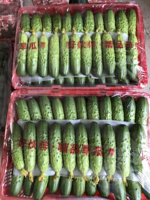 辽宁省葫芦岛市绥中县绥中旱黄瓜 18cm以下 鲜花带刺