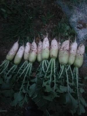 河南省漯河市郾城区青皮萝卜 1~1.5斤