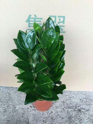广东省广州市荔湾区金钱树