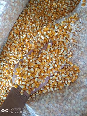 云南省德宏傣族景颇族自治州瑞丽市玉米干粮 霉变≤1% 杂质很少