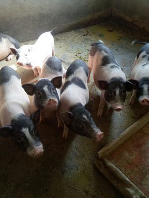 安徽省阜阳市颍州区巴马香猪 40-60斤