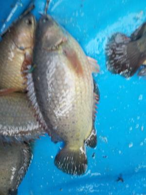 广东省湛江市雷州市攀鲈鱼 人工养殖 0.5公斤以下