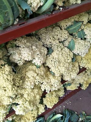 河南省开封市通许县松花菜 松散 3~4斤 米黄色