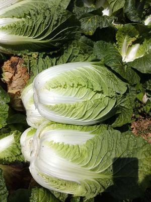 湖北省荆州市松滋市黄心大白菜 3~6斤 毛菜