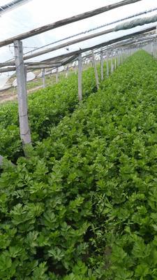 山东省滨州市惠民县西芹 60cm以上 大棚种植 0.5~1.0斤