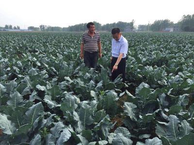 安徽省阜阳市界首市炎秀西兰花 1.2~1.5斤 15~20cm