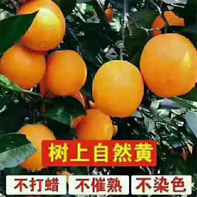 重庆奉节县奉节仑晚脐橙 6.5 - 7cm 2 - 3两