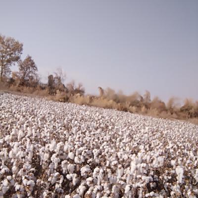 新疆维吾尔自治区阿克苏地区温宿县籽棉