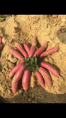 西瓜红红薯苗 六鳌红蜜薯
