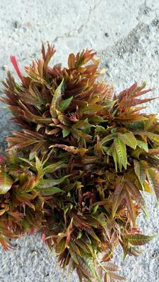 山西省运城市永济市红香椿芽 露天种植 箱装 统货