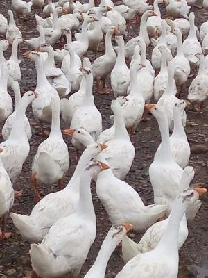 湖北省咸宁市咸安区大三花鹅 统货 半圈养半散养 6-8斤