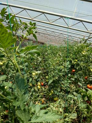 山东省烟台市福山区普罗旺斯番茄 不打冷 硬粉 弧二以上