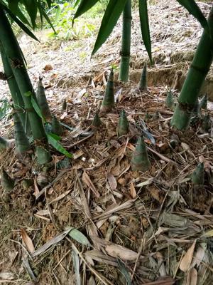 广西壮族自治区钦州市灵山县甜竹笋 30cm以上 鲜笋