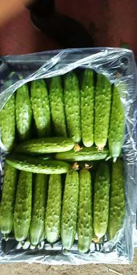 辽宁省锦州市北镇市刺黄瓜 18~22cm 鲜花带刺